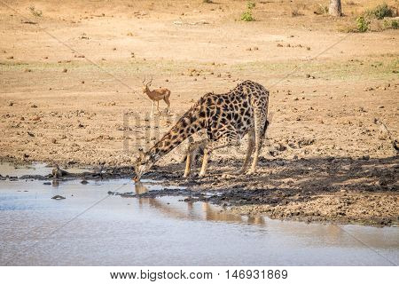 Giraffe Drinking Water In The Kruger.