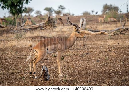 Male Impala From The Side.