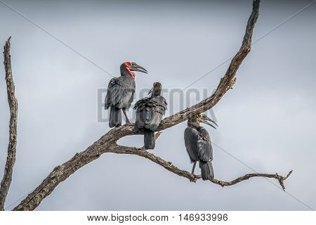 Three Southern Ground Hornbills In A Tree.