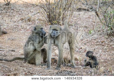 Baboons Grooming Each Other.