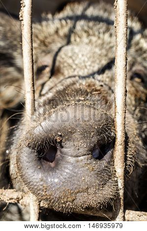 close up of snout of forest pig standing behind bars