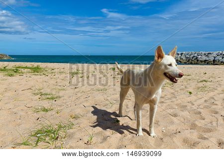 Homeless dog is standing on the beach pattaya thailand Thai gulf .