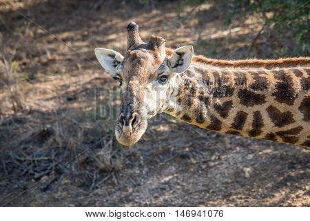 Giraffe Starring At The Camera.