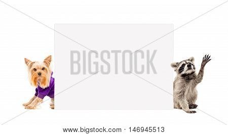 Yorkshire terrier and raccoon, peeking from behind banner, isolated on white background