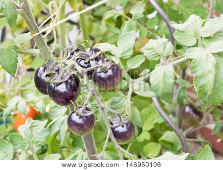 A bunch of black tomatoes growing on the vine in a garden