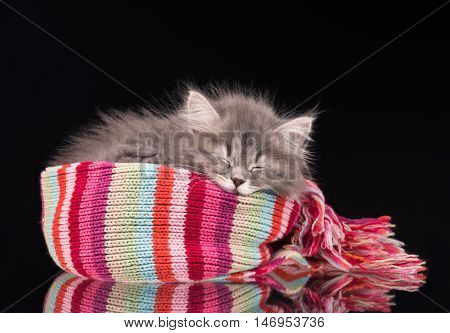Asleep fluffy kitten in a warm knitted scarf over black background