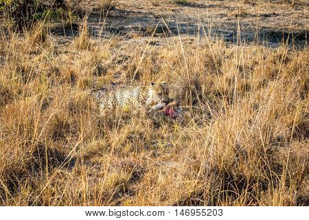 Cheetah Eating From A Reedbuck Carcass In The Grass.