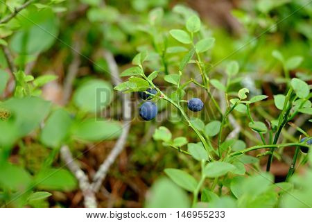 The Branches Of Bilberry