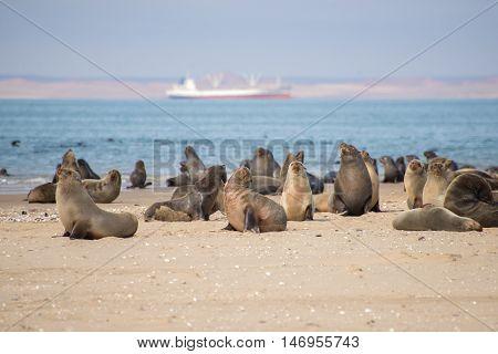 Seals At Pelican Point