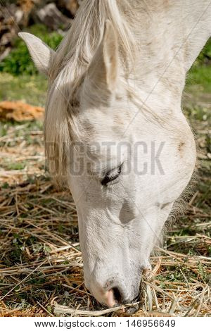 Horse Grazing On Hay