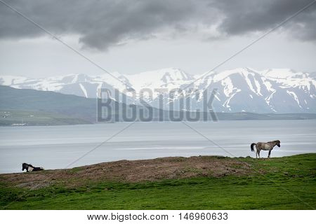 Icelandic horses with mountains and dramatic overcast sky