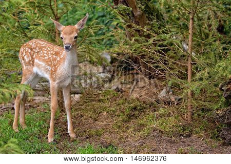 Young fallow deer in the forest in the wild