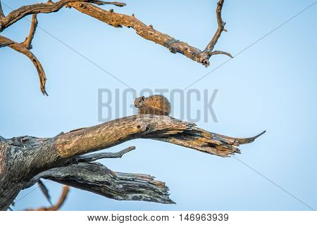 Tree Squirrel On A Branch.