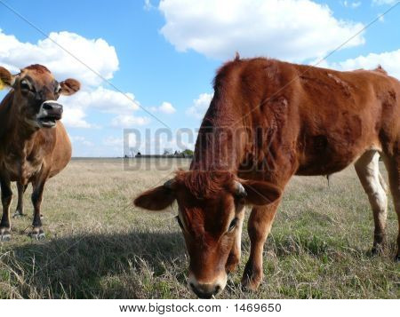 Talking Cow And Cow Listening
