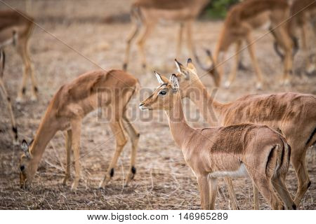 A Group Of Female Impalas In Kruger.