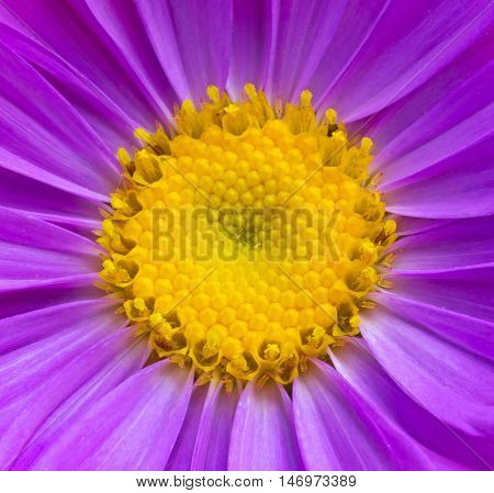aster flower texture yellow and purple closeup