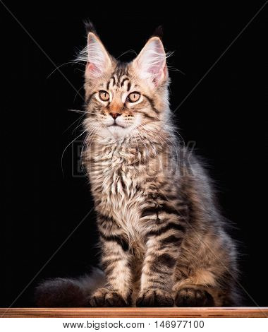 Portrait of domestic black tabby mackerel Maine Coon kitten - 3,5 months old. Cat on black background.