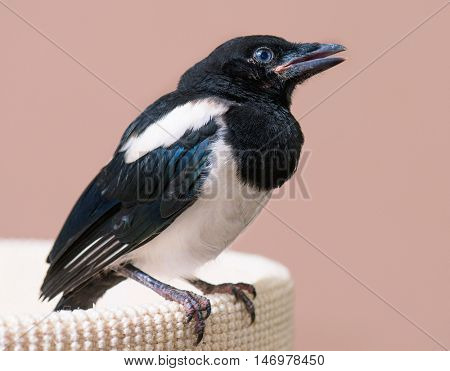 The close view of the nestling of magpie. Close up of bird portrait indoors background.
