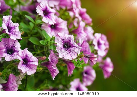 purple petunia flowers in the garden in Spring time. Green background