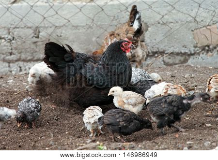 Chicken-mum and small chickens are walking in the farm yard. They are protected by the mother. Domestic bird