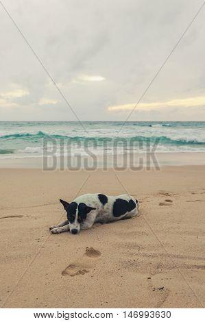 Dog on the beach Surin beach Phuket Thailand