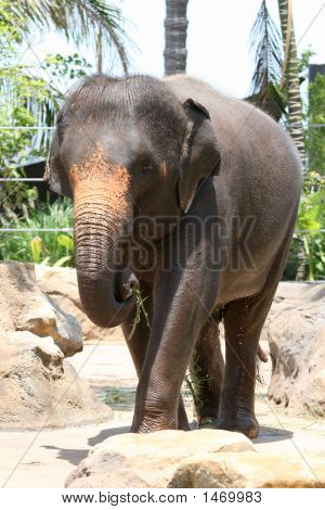 Young Elephant Eating