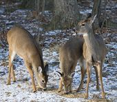 picture of deer family  - Family of whitetail deer that are eating near a snowy forest - JPG