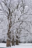 foto of pecan tree  - Snow covered pecan trees in north Texas - JPG