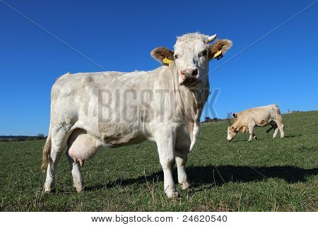 Herd Of Young White Cows On Green Meadow