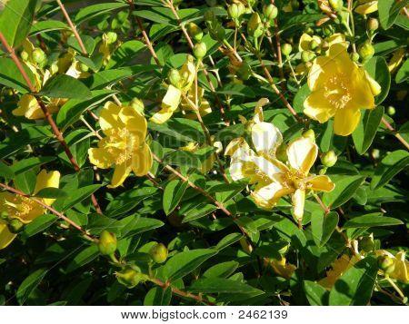 Hypericum - erva de São João