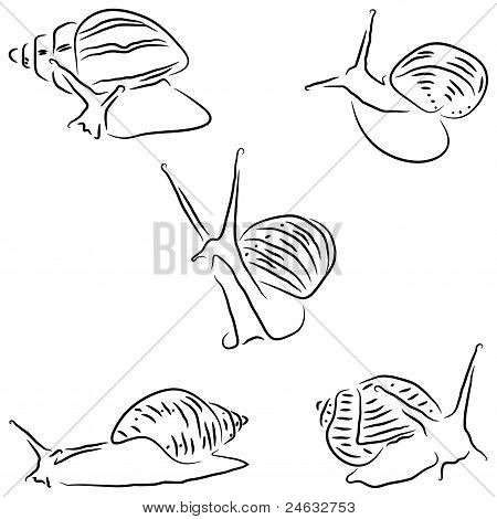 Painted snail Achatina