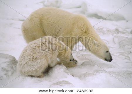 Eisbär mit ihrem cub