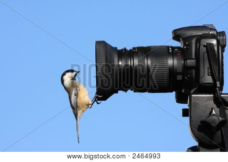 Chickadee On Camera