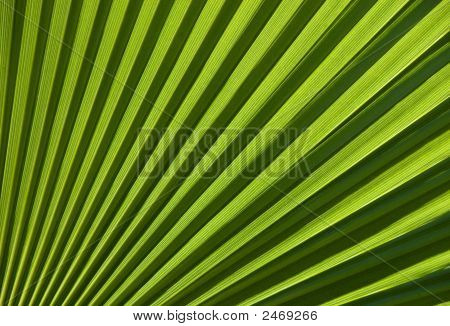 Chusan Palm Leaf Section