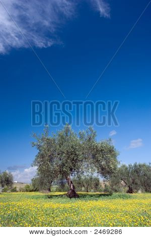 Olive Trees With A Carpet Of Flowers