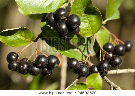 Branch Aronia