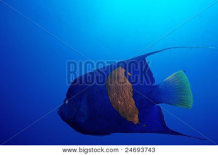 Red Sea Angelfish