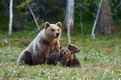 Mother Bear Protects Her Three Little Puppies In The Finnish Taiga poster