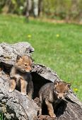 stock photo of coyote  - Beautiful coyote pups playing in hollowed area of fallen tre - JPG