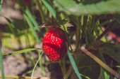 Fresh Ripe Strawberry From Farm. Garden-bed With Some Ripe Fruit. Plantation Of Sweet And Healthy Be poster