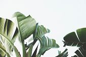 Bunch Of Tropical Banana Palm Leaves On Branch Without Fruits. Pollution Free Nature Concept. Banana poster