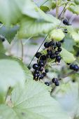 Black Currants On The Bush Branch In The Garden, Harvest Of Blackcurrants On The Branch. Sparkling I poster