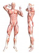 Conceptual anatomy healthy skinless human body muscle system set. Athletic young adult man posing fo poster