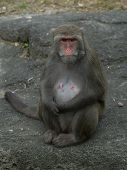 picture of tarzan  - a female monkey sitting on the rock in the zoo - JPG