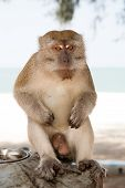 Monkey In Kuantan Sand Beach Background. Monkey Cute And Fluffy Sit In Shadow. Monkeys Harass Reside poster