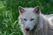 Beautiful Canine White Arctic Wolf Close Up poster