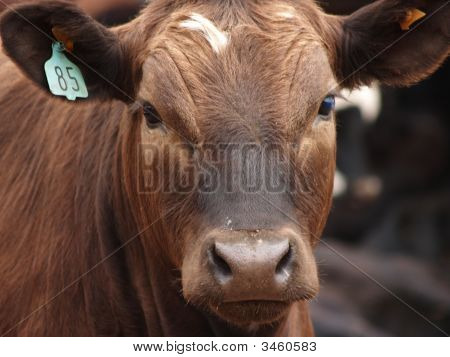Face Of A Brown Cow