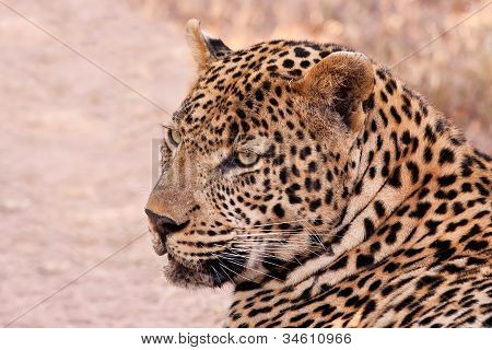 Male Leopard Lying In The Shade
