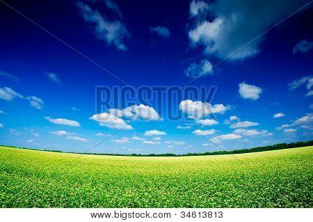The Wonderful Field Of Buckwheat.