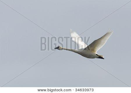 Lone Flying Swan